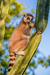 Ring tailed lemur (Lemur catta) feeding on cactus, Berenty Private Reserve, southern Madagascar. - David  Pattyn