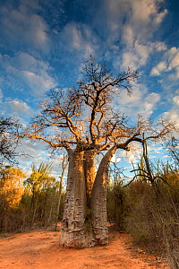Baobab (Adansonia rubrostipa) tree in late afternoon light, Berenty Private Reserve, southern Madagascar, August 2016.  -  David  Pattyn