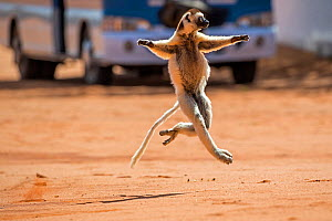 Verreaux's sifaka (Propithecus verreauxi) running across a road with bus in background, Berenty Private Reserve, southern Madagascar, August 2016.  -  David  Pattyn