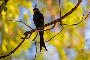 Crested drongo (Dicrurus forficatus) perching on branch, Berenty Private Reserve, southern Madagascar. - David  Pattyn