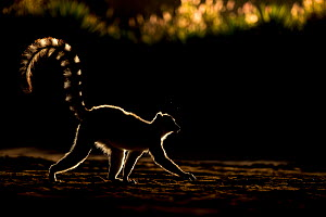 Ring tailed lemur (Lemur catta) backlit in late afternoon light, Berenty Private Reserve, southern Madagascar. - David  Pattyn