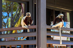 Coquerel's sifaka (Propithecus coquereli), two sitting on terrace of hotel room, Anjajavy Private Reserve, north west Madagascar, September 2016. - David  Pattyn