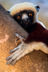 RF - Coquerel's sifaka (Propithecus coquereli)  in a tree, Anjajavy Private Reserve, north west Madagascar. (This image may be licensed either as rights managed or royalty free.) - David  Pattyn