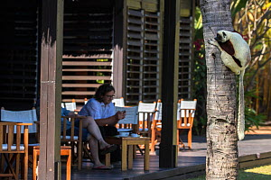 Coquerel's sifaka (Propithecus coquereli) on tree trunk watching tourists at hotel, Anjajavy Private Reserve, north west Madagascar, September 2016.  -  David  Pattyn