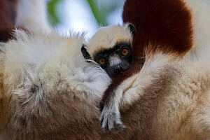 Coquerel's sifaka (Propithecus coquereli) juvenile holding on to its mother, Anjajavy Private Reserve, north west Madagascar.  -  David  Pattyn
