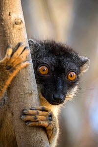 Common brown lemur (Eulemur fulvus) portrait, Anjajavy Private Reserve, north west Madagascar.  -  David  Pattyn