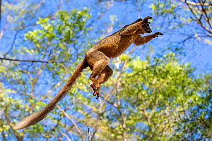 Common brown lemur (Eulemur fulvus) jumping amongst branches, Anjajavy Private Reserve, north west Madagascar.  -  David  Pattyn