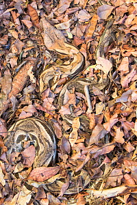 Madagascar ground boa (Acrantophis madagascariensis), well camouflaged against leaves, Anjajavy Private Reserve, north west Madagascar.  -  David  Pattyn