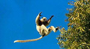 RF - Coquerel's sifaka (Propithecus coquereli) jumping, Anjajavy Private Reserve, north west Madagascar. (This image may be licensed either as rights managed or royalty free.) - David  Pattyn