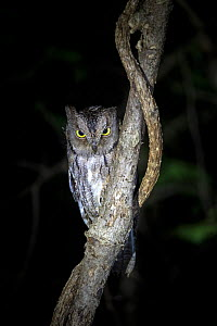 Madagascar scops owl (Otus rutilus) perching at night, Anjajavy Private Reserve, north west Madagascar.  -  David  Pattyn