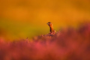 RF - Red grouse (Lagopus lagopus scotica) on heather, UK. (This image may be licensed either as rights managed or royalty free.) - Andy Rouse