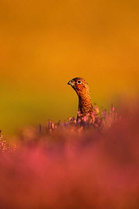 RF - Red grouse (Lagopus lagopus scotica) on heather, UK. September. Vertical crop of 1573820 (This image may be licensed either as rights managed or royalty free.)  -  Andy Rouse