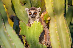 RF - Ring tailed lemur (Lemur catta) sitting on nibbled Cactus, Berenty Private Reserve, southern Madagascar. (This image may be licensed either as rights managed or royalty free.) - David  Pattyn