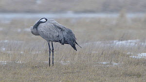 Common crane (Grus grus) in a blizzard, Gallocanta Lake, Aragon, Spain, February.  -  Francisco Marquez