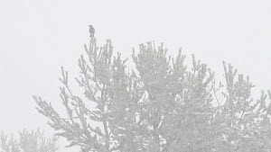 Carrion Crow (Corvus corone) perched in a pine tree during a blizzard, Ordesa y Monte Perdido National Park, Spain, April. - Francisco Marquez