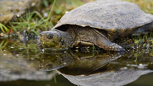 Spanish terrapin (Mauremys leprosa) entering a pond, Extremadura, Spain, December. - Francisco Marquez
