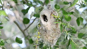 Penduline tit (Remiz pendulinus) building a nest, Toledo, Spain, May.  -  Francisco Marquez