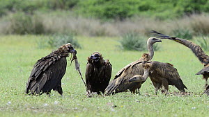 Griffon vultures (Gyps fulvus) and European black vultures (Aegypius monachus) feeding on a dead deer, Cabaneros National Park, Montes de Toledo, Spain, May.  -  Francisco Marquez