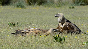 Two Griffon vultures (Gyps fulvus) resting on the ground after feeding, preening each other, Cabaneros National Park, Montes de Toledo, Spain, May.  -  Francisco Marquez
