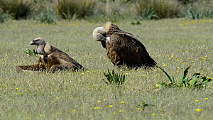 Griffon vulture (Gyps fulvus) resting on the ground after feeding, Cabaneros National Park, Montes de Toledo, Spain, May.  -  Francisco Marquez