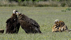 European black vultures (Aegypius monachus) grooming each other, with a Griffon vulture (Gyps fulvus) resting on the ground nearby, Cabaneros National Park, Montes de Toledo, Spain, May 2012.  -  Francisco Marquez
