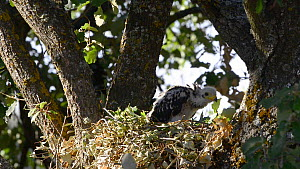 Honey buzzard (Pernis apivoros) chick in nest, Extremadura, Spain, August. - Francisco Marquez