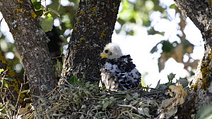 Honey buzzard (Pernis apivoros) chick preening in nest, Extremadura, Spain, August. - Francisco Marquez