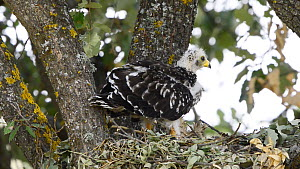 Honey buzzard (Pernis apivoros) chick feeding in nest, Extremadura, Spain, August. - Francisco Marquez