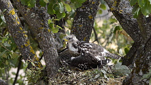 Honey buzzard (Pernis apivoros) chick in nest, thermoregulating, Extremadura, Spain, August. - Francisco Marquez