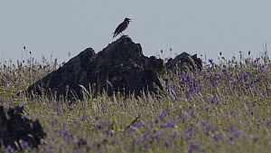 Male Calandra lark (Melanocorypha calandra) singing, La Serena, Extremadura, April.  -  Francisco Marquez