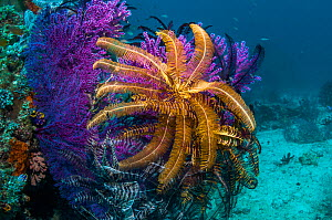 RF - Featherstars / Crinoids on Gorgonian, West Papua, Indonesia. (This image may be licensed either as rights managed or royalty free.) - Georgette Douwma