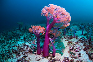 RF - Soft corals (Dendronephthya sp) in coral reef, West Papua, New Guinea. (This image may be licensed either as rights managed or royalty free.)  -  Georgette Douwma