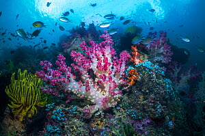 RF - Coral reef with Soft corals (Dendronephthya sp) and fish, West Papua, Indonesia. (This image may be licensed either as rights managed or royalty free.)  -  Georgette Douwma