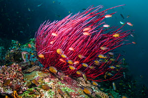 Gorgonian / Sea whip coral (Ellisella ceratophyta) with Ring tailed cardinalfish (Apogon aureus) swimming in front, West Papua, Indonesia. - Georgette Douwma