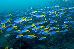 Yellow and blueback fusilier (Caesio teres) schooling over coral reef, West Papua, Indonesia. - Georgette Douwma