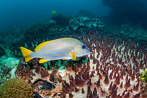 Yellow striped sweetlips / Goldlined sweetlips (Plectorhincus chrysotaenia), West Papua, Indonesia.  -  Georgette Douwma