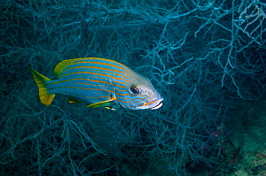 Yellow striped sweetlips / Goldlined sweetlips (Plectorhinchus chrysotaenia), West Papua, Indonesia.  -  Georgette Douwma