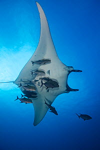 Giant Manta Ray (Manta birostris) and Black Jack (Caranx lugubris), Giant Manta Ray IUCN Vulnerable, San Benedicto Island, Revillagigedo Archipelago Biosphere Reserve (Socorro Islands), Pacific Ocean,... - Claudio  Contreras