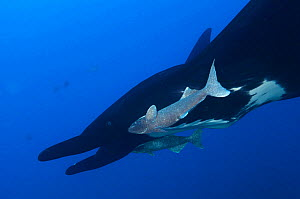Giant Manta Ray (Manta birostris), IUCN Vulnerable, Socorro Island, Revillagigedo Archipelago Biosphere Reserve (Socorro Islands), Pacific Ocean, Western Mexico, March - Claudio  Contreras