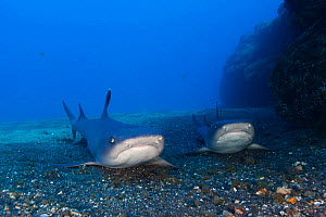Whitetip Reef Shark (Triaenodon obesus) resting on ground, IUCN Near Threatened, San Benedicto Island, Revillagigedo Archipelago Biosphere Reserve (Socorro Islands), Pacific Ocean, Western Mexico, Mar...  -  Claudio  Contreras