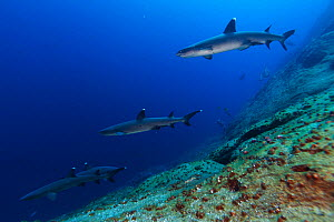 Whitetip Reef Shark (Triaenodon obesus), IUCN Near Threatened, Roca Partida Islet, Revillagigedo Archipelago Biosphere Reserve (Socorro Islands), Pacific Ocean, Western Mexico, March  -  Claudio  Contreras