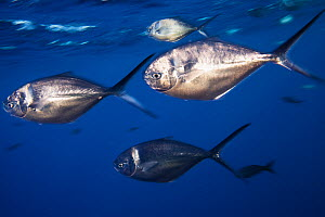 Steel pompano fish (Trachinotus stilbe), Roca Partida Islet, Revillagigedo Archipelago Biosphere Reserve (Socorro Islands), Pacific Ocean, Western Mexico, March  -  Claudio  Contreras