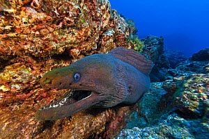 Panamic green moray (Gymnothorax castaneus), Socorro Island, Revillagigedo Archipelago Biosphere Reserve (Socorro Islands), Pacific Ocean, Western Mexico, March  -  Claudio  Contreras