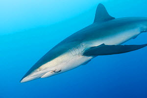 Silky shark (Carcharhinus falciformis) with hook and line stuck in mouth, San Benedicto Island, Revillagigedo Archipelago Biosphere Reserve (Socorro Islands), Pacific Ocean, Western Mexico, March  -  Claudio  Contreras
