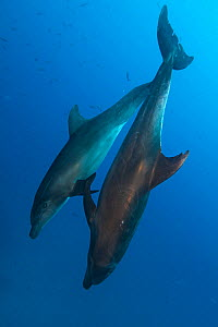 Common bottlenose dolphin (Tursiops truncatus), Socorro Island, Revillagigedo Archipelago Biosphere Reserve (Socorro Islands), Pacific Ocean, Western Mexico, March  -  Claudio  Contreras