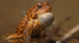 American toad (Anaxyrus americanus) male calling, Maryland, USA. April.  -  John Cancalosi