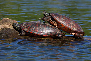 Northern red-bellied turtles (Pseudemys rubriventris) basking, Maryland, USA, May. - John Cancalosi