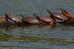 Northern red-bellied turtles (Pseudemys rubriventris) basking, Maryland, USA, April.  -  John Cancalosi