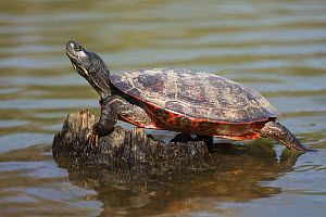 Northern red-bellied turtles (Pseudemys rubriventris) basking, Maryland,USA, April. - John Cancalosi