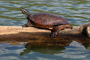 Northern red-bellied turtles (Pseudemys rubriventris) basking,  Maryland, USA.April. - John Cancalosi